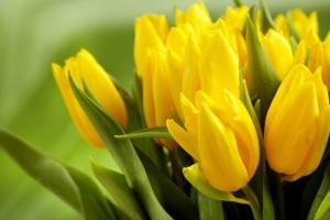 tulipa_photo