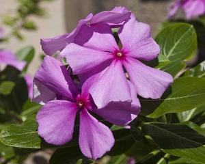 Catharanthus_photo4