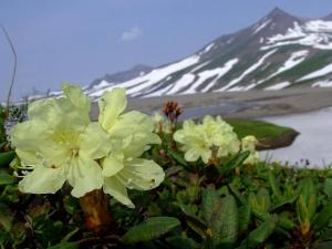 Rhododendron-aureum-photo2