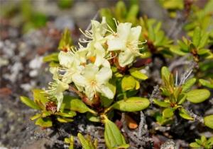 Rhododendron-aureum-photo3
