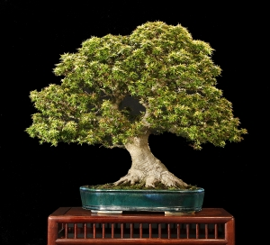 bonsai-tree-photo