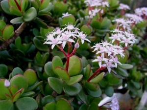 crassula-ovata-photo