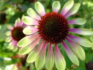 echinacea-photo6