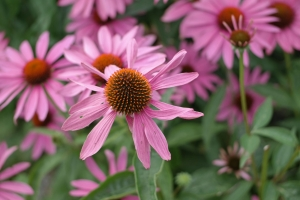 echinacea-photo7