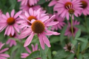echinacea-photo7